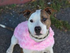 "ROXY - A1058959 - - Brooklyn  TO BE DESTROYED 12/04/15   Found as Queens ""strays"", young Roxy and her puppy companion Sammy, are in separated cages at Brooklyn ACC wondering why nobody's come for them. Its impossible to know if they're related. Wherever Roxy was, she managed to get good and dirty but otherwise was in good health when she got to ACC. And what an impression she made during her intake medical–""very sweet and lovable girl – loves to give kisse"