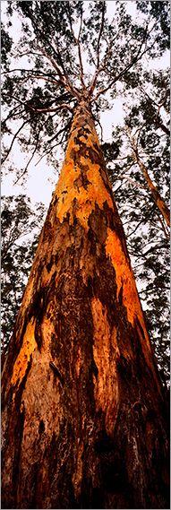Karri Tree - Boranup Forest - Margaret River - Western Australia - photo by Adam Monk - copyright