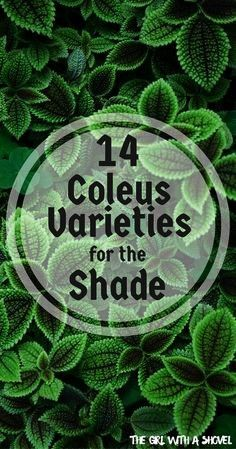 Outdoor Shade Garden Coleus Annual Plants Plants for No Sun ShadeLoving Plants Outdoor Landscaping Shade Garden Plants, Sun Plants, Cool Plants, House Plants, Flowers Garden, Container Plants For Shade, Potted Plants For Shade, Shaded Garden, Container Flowers