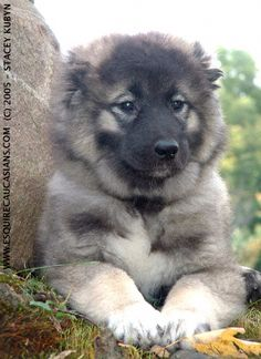 It is a giant and woolly dog that looks very pretty with its fluffy hair. The features of Caucasian Mountain Shepherd Dog or Caucasian Shepherd Dog are very Caucasian Shepherd Puppy, Big Dogs, Dogs And Puppies, Hachiko, Types Of Dogs, Mountain Dogs, Russian Caucasian, Bullies, Pets