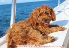 Had such a fun afternoon soaking up some sun out in the boat today I got to see the Great Barrier Reef too!   #cavoodle #toycavoodle #cavoodlesofinstagram #puppiesofinstagram #poodle #petsofinstagram  #puppytales #dogsofinstagram #dogoftheday #puppypalace #puppytrip #puppygram #cavapoo #cavapoosofinstagram #cutepuppy #dailyfluff #lowisles #portdouglas #greatbarrierreef #tropicalnorthqueensland #snorkelling #exploreGBR #queensland #instatravel #nature #instapassport #travel #adventure by…