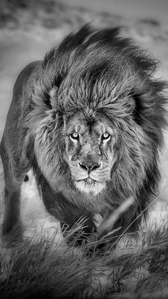 Lion tattoos hold different meanings. Lions are known to be proud and courageous creatures. So if you feel that you carry those same qualities in you, a lion tattoo would be an excellent match Lion And Lioness, Lion Of Judah, Big Cats, Cool Cats, Beautiful Cats, Animals Beautiful, Grand Chat, Animals And Pets, Cute Animals