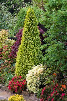 Chamaecyparis lawsoniana 'Stardust'  (Lawson cypress  'Stardust' ) in late spring   by Four Seasons Garden