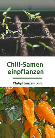 chili anzucht anleitung chilisamen keimen lassen gardens garten and plants. Black Bedroom Furniture Sets. Home Design Ideas