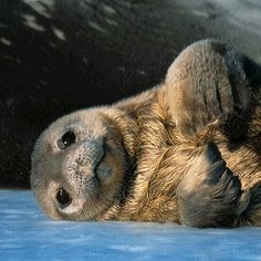 So cute ! Sea Lion, we need to stop destroying their homes Cute Baby Animals, Animals And Pets, Funny Animals, Wild Animals, Most Beautiful Animals, Beautiful Creatures, Animals Amazing, Mundo Animal, My Animal