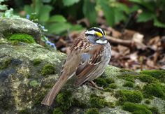 Travels With Birds: White-throated Sparrow
