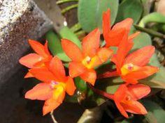 Orchid: Sophronitis cernua