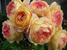 Rosomane Janon - French rose.