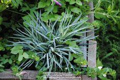 Photo of Carnation (Dianthus caryophyllus 'King of the Blacks'). Photo Location: My Northeastern Indiana Gardens - Zone on Dianthus Caryophyllus, Blue Leaves, Photo Location, Carnations, King, Garden, Plants, Black, Garten