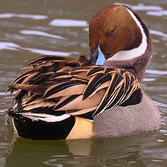 Northern Pintail - anas acuta - wide geographic distribution, breeds in the northern areas of Europe, Asia and North America. It is migratory and winters south of its breeding range to the equator. Pretty Birds, Beautiful Birds, Animals Beautiful, Waterfowl Hunting, Duck Hunting, Swans, Duck Mount, Duck Species, Duck Breeds
