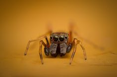 First time I come across a Salticidae - Myrmarachne (male) Ant mimicry