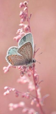 Papillon céladon sur bois de rose
