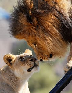 Izu and Mina, two African lions at the Safari Park. Photo by day1953 on Flickr.