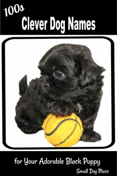 Shih Tzu Puppies Coloring Pages Collection Shih Tzu Coloring Pages Pictures Sabadaphnecottage. Shih Tzu Puppies Coloring Pages Shih Poo Wikipedia. Shih Poo, Yorkie Poo Puppies, Rottweiler Puppies, Shih Tzu Puppy, Black Dog Names, Small Dog Names, Small Puppies, Small Dogs, Clever Dog Names