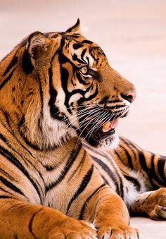 tiger like a boss