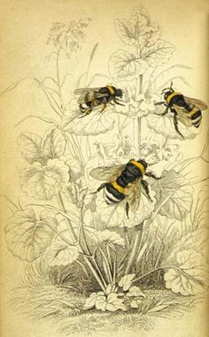 'Common humble bee', from The Naturalist's Library, vol. 38 Entomology, edited by William Jardine (Edinburgh, W.H. Lizars, 1840)