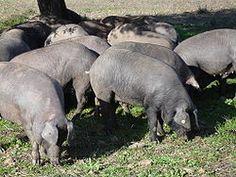 Black Iberian pig - Wikipedia, the free encyclopedia