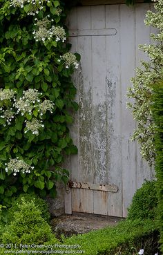Mine has migrated to my neighbours garden leaving me just a little to enjoy :( ! i believe this is a climbing hydrangea shrub to the left of this fab weathered door! Hydrangea Petiolaris, Hydrangea Shrub, Hydrangeas, White Gardens, Small Gardens, Outdoor Gardens, Garden Doors, Garden Gates, Climbing Hydrangea