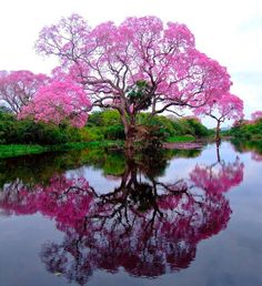 Pink trumpet tree (piúva) comes from the same family as the Jacaranda family.This image of the piúva tree in bloom and the reflection almost create a circle. #LoveThis http://www.artofncook.com/