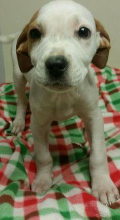 Boxador dog for Adoption in SHERBURNE, NY. ADN-752645 on PuppyFinder.com Gender: Female. Age: Baby