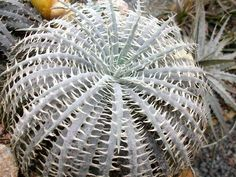 Dyckia delicata  - My first seedlings of succulents 2013. 15 species of Dyckia. Seeds received from a Brazilian friend