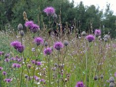 Billedresultat for centaurea dansk Herbaceous Perennials, Flower Garden, Wild Flowers, Plants, British Wild Flowers, Wildlife Gardening, Perennials, Flowers, Scabiosa Flowers