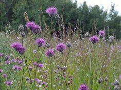 Billedresultat for centaurea dansk Scabiosa Flowers, Thistles, British Wild Flowers, Herbaceous Perennials, Flower Art, Flower Power, Woodland, Grass, Planters
