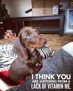 If you've ever had a Dachshund or you just love the animal, these dog memes will have you cracking up. Dachshund Funny, Dachshund Quotes, Dachshund Puppies, Dachshund Love, Cute Puppies, Cute Dogs, Daschund, Weenie Dogs, Doggies