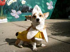 corgis in halloween costumes - banana corgi!!! <3