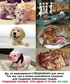 """""""Животных СПЕЦИАЛЬНО выращивают!"""" (Поэтому дескать, их можно убивать): http://veg.1bb.ru/viewtopic.php?id=45#p217 В несжатом качестве: https://vk.com/doc223333527_461703862?hash=9188f745298bfed8f4&dl=b8d4b9de6d4ccdcdb1"""