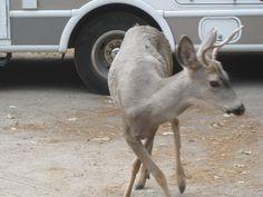 Yosemite - deer are not afraid of visitors