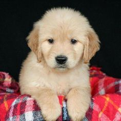 """Awesome """"golden retriever puppies"""" info is offered on our website. Retriever Puppy, Dogs Golden Retriever, Labrador Retrievers, Golden Retrievers, Cute Puppies, Cute Dogs, Dogs And Puppies, Doggies, Puppy Obedience Training"""