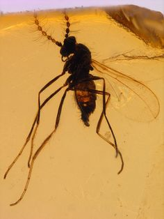 very rare cretaceous Myanmar (Burmese) amber MYO - Biting midge (Ceratopogonidae)