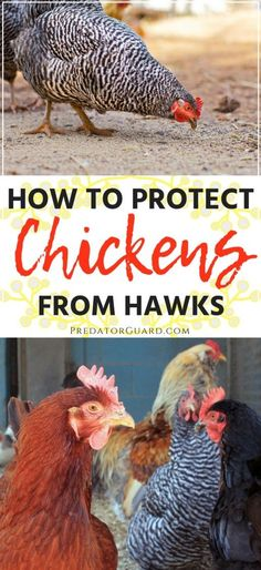 How To Protect Chickens From Hawks - Predator Guard - Predator Deterrents and Repellents Raising Backyard Chickens, Baby Chickens, Keeping Chickens, Backyard Farming, Backyard Patio, Building A Chicken Coop, Diy Chicken Coop, San Andreas, Chicken Incubator