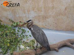 Garza real 14/4050   Esta garza real ingreso en nuestro hospital con una herida en la quilla, hipotérmica y desnutrida. Nuestro equipo veterinario se ha tenido que emplear a fondo ya que las garzas se estresan mucho en cautividad y se niegan a comer.  ¡Apadrina esta garza real y ayudala a volver a la naturaleza! http://buscopadrino.grefa.org/products-page/pacientes_de_hospital/garza-real-144050/