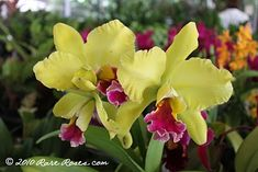 Rare Roses: Hawaii State Farm Fair - Free stuff!