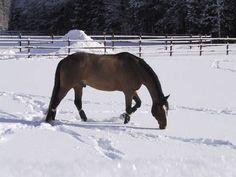 #Equstom #horses #pinski Shepherd Puppies, Australian Shepherd, Skiing, Horses, Animals, Aussie Shepherd, Ski, Animales, Animaux
