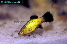 Awesome Yellow Platy