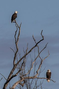 The Hullett Provincial Wildlife Area Huron County, Bald Eagle, Wildlife, Birds, Animals, Animaux, Bird, Animal, Animales