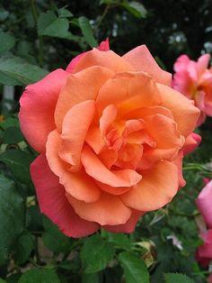 Shrub Rose 'Freisinger Morgenrote' (Rosa) by louellaa
