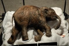Lyuba is a female woolly mammoth calf who died 41,800 years ago at the age of 30 to 35 days. Lyuba is believed to have suffocated by inhaling mud while bogged down in deep mud in the bed of a river her herd was crossing. Lyuba appears to have been healthy at the time of her death. By examining Lyuba's teeth, researchers hope to gain insight into what caused Ice Age mammals, including the mammoths, to become extinct at the end of the Pleistocene era around 10,000 years ago