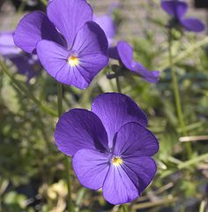 Viola 'Fabiola' Tiny 2cm. lavender-blue flowers in profusion. Orange eye. Very vigorous and perennial, making compact neat clumps.