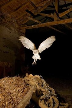 Barnyard Critters ~ barn owl in flight within the barn