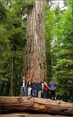 The Coast Douglas fir (Pseudotsuga menziesii var. menziesii) trees in Cathedral Grove, Vancouver Island, Canada.