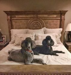 Black Standard Poodle, Standard Poodles, White Puppies, Dogs And Puppies, Love Pet, I Love Dogs, Silver Poodle, Poodle Cuts, Poodle Grooming
