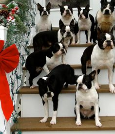 Fancy holiday party is a tuxedo event! #dogs #pets #BostonTerriers Facebook.com/sodoggonefunny...WOW--someone with more dogs than me!!! How cool are they?!?