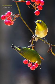 white-eye by Tiger Seo / Cute Creatures, Beautiful Creatures, Animals Beautiful, Cute Birds, Pretty Birds, Flying Flowers, Composition Art, Most Beautiful Birds, Tinta China