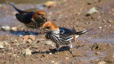 Lesser striped swallows gathering mud.