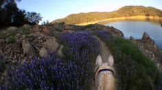 You all loved Linda & Comet's selfie yesterday, so we're bringing them back. Here's a video Linda took riding Comet at Folsom Lake Recreation Area, NE of Sacramento, CA. We like to call it, Lupine Gone Wild!