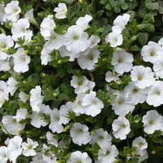 Pétunia+Surfinia+Snow+blanc Petunia Surfinia, Seasons, Flowers, Nature, Terrazzo, Ham, Snow, Cabinet, Gardens